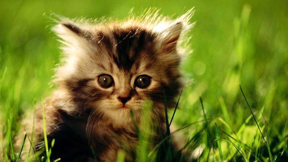 cutebaby-cat-kitten-hd