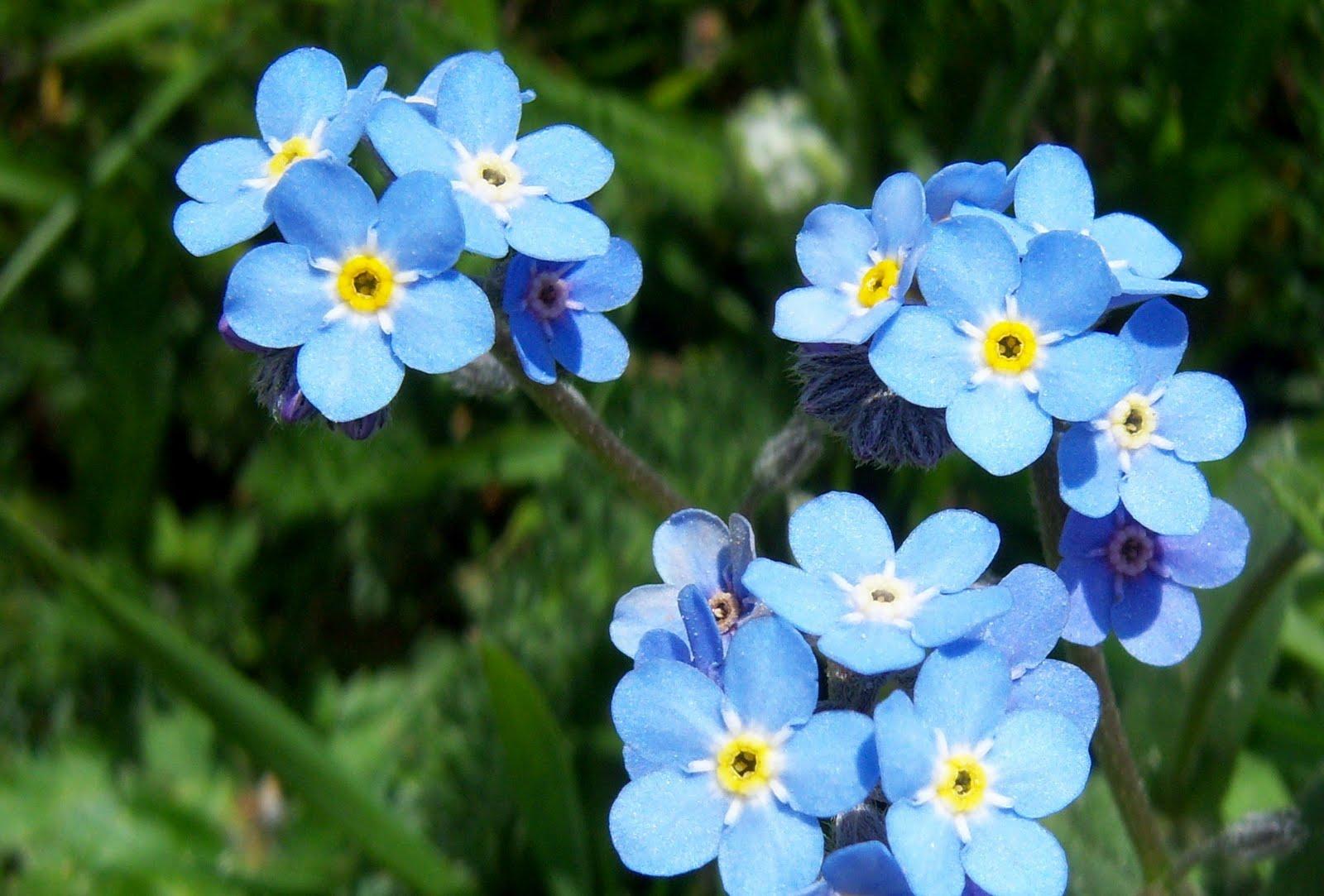 Imágenes De Flores Y Plantas: Nomeolvides