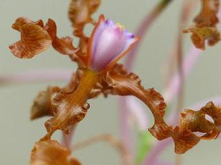 Schomburgkia lueddemannii - Laelia lueddemannii
