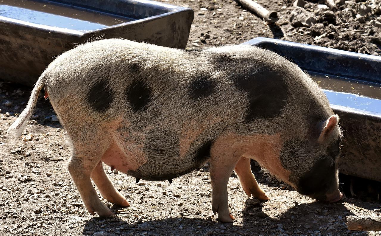 Bahayanya mengkonsumsi daging babi