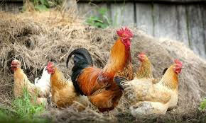 Youth ventures in organic poultry farming to be revived in Peshawar.