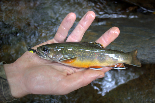 Great Smoky Mountains National Park brook trout