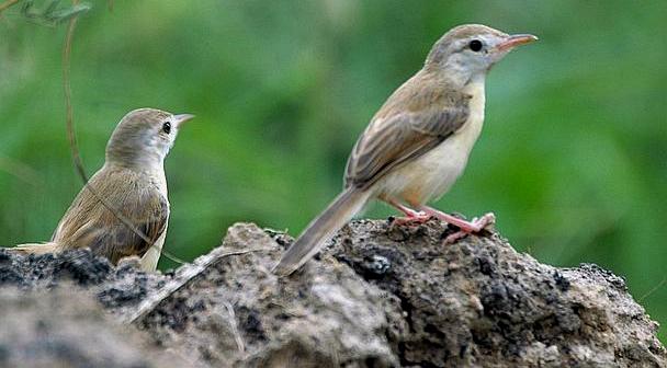 suara burung ciblek untuk masteran