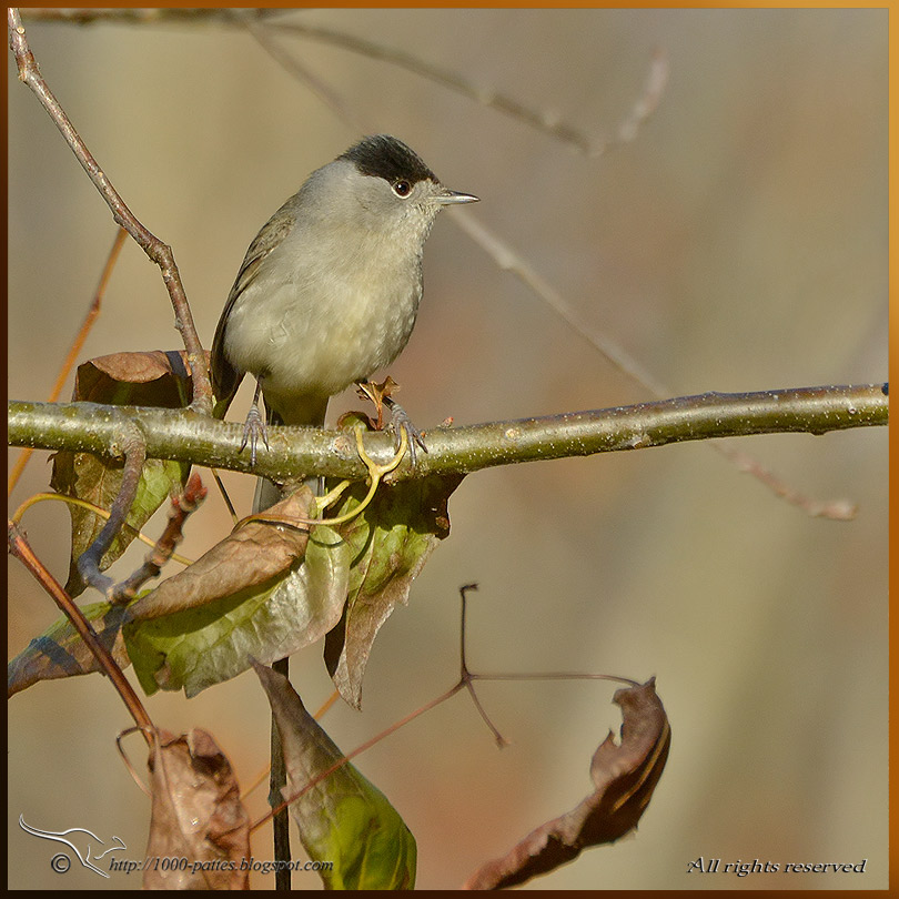 The Eurasian Blackcap