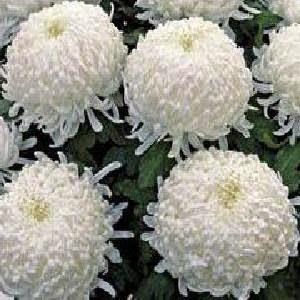 Полезный комнатный цвегок Хризантема
