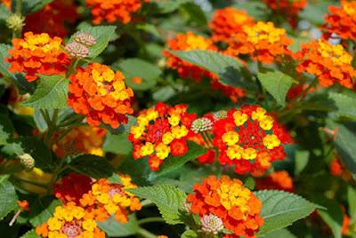 Cách chữa viêm xoang đơn giản từ hoa ngũ sắc