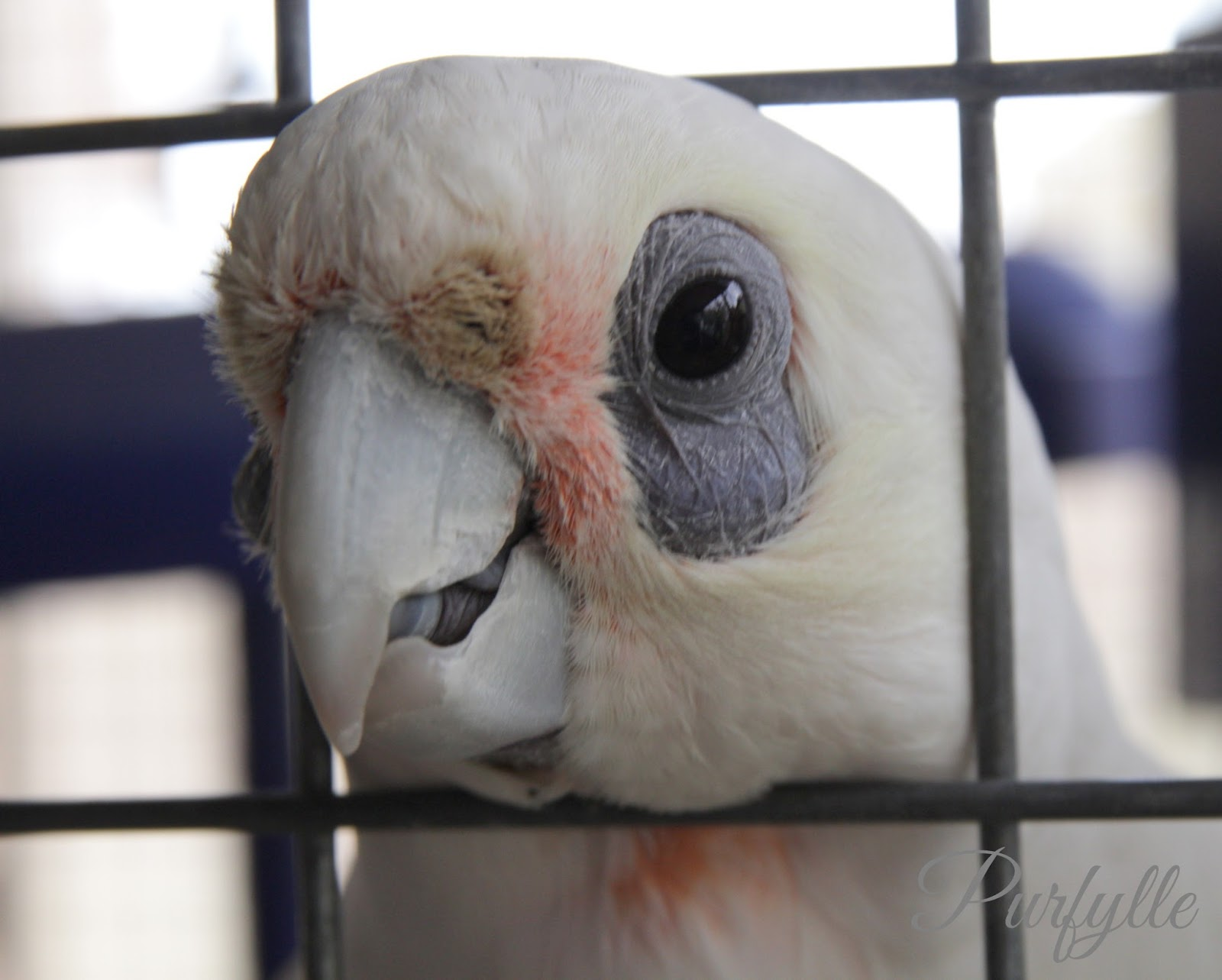 Noisy the corella