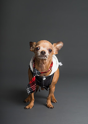 A small brown Chihuahua is wearing a tie and hoodie