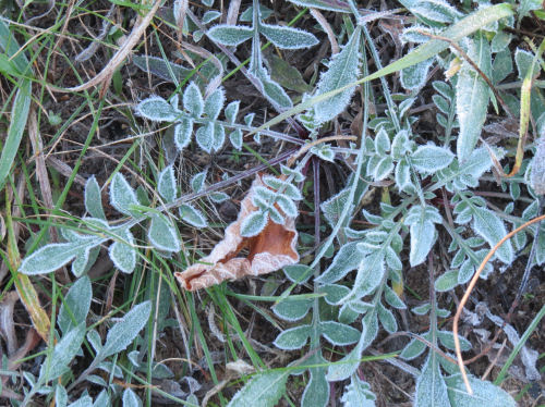 frosted spotted knapweed leaves