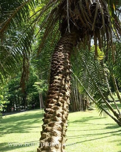 Phoenix roebelenii, Pygmy Date Palm, Dwarf Date Palm trunk