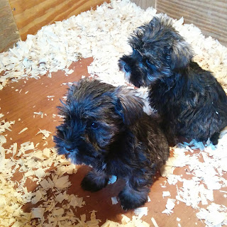 mini schnauzer puppies! - growourown.blogspot.com