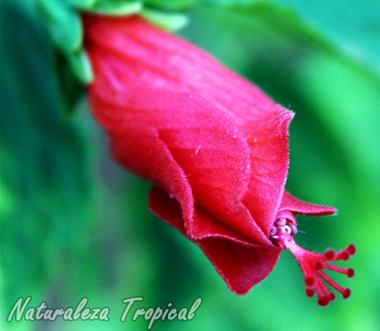 Flor característica de la Pasiflora, Malvaviscus penduliflorus