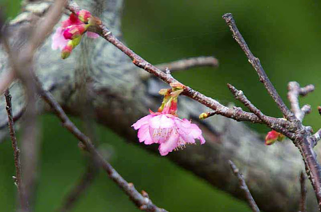 buds, blossoms, cherry tree, branches, bark