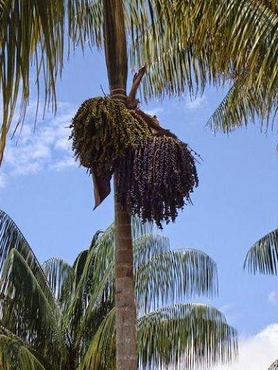 Açaí | Planta Típica do Amazonas