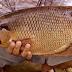 Budidaya Ikan Gurame di Rumah