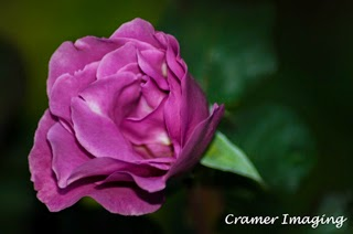 Cramer Imaging's professional quality fine art photograph of a purple blooming rose at Temple Square, Salt Lake City, Utah