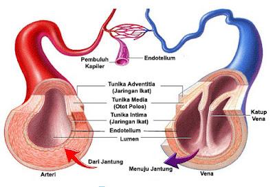 anatomi struktur pembuluh darah
