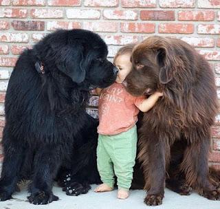 terranova, razas de perro grande para niños