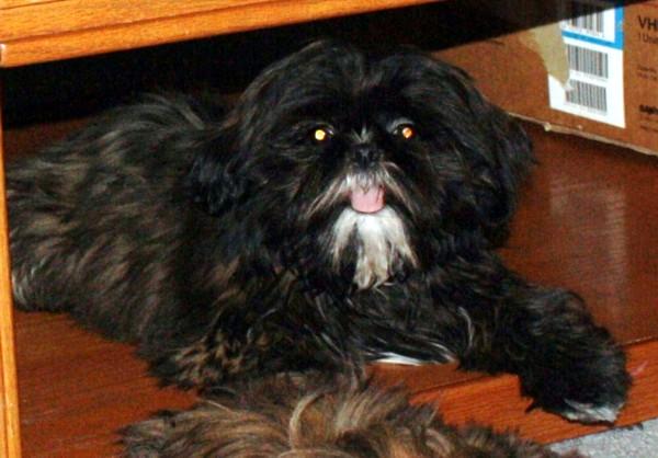 Cute Dogs Black Shih Tzu Dogs