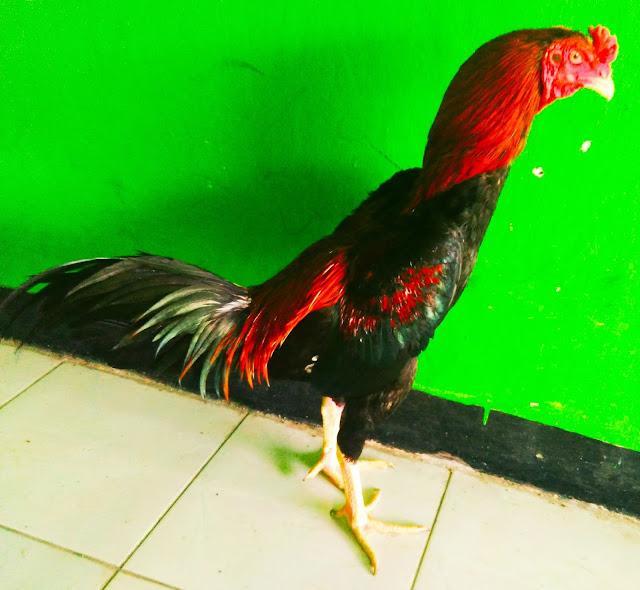 Ayam Bangkok 2020