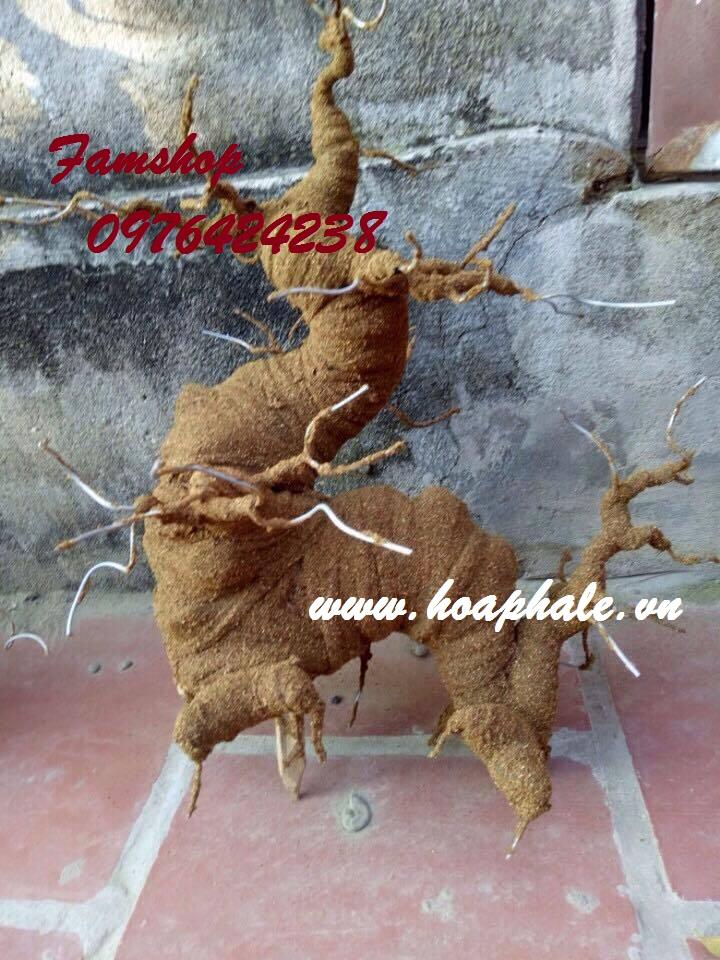 Goc bonsai mai dao the rong tai Nguyen Thuong Hien