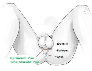 Perineum Pria