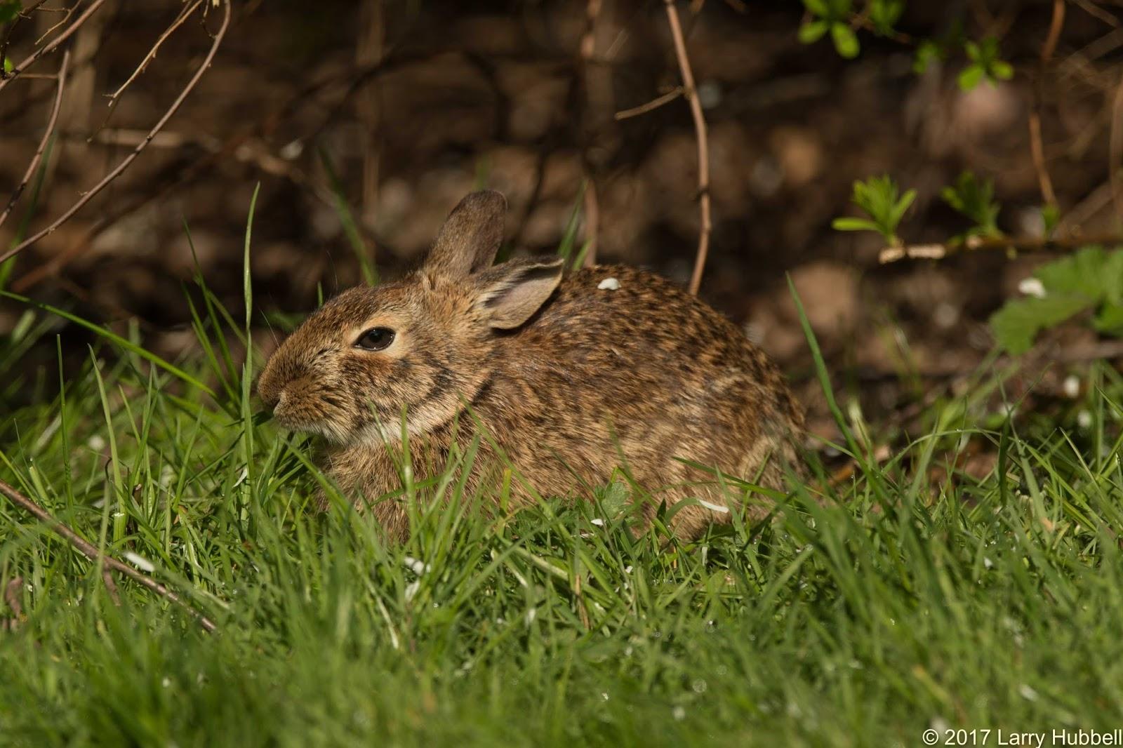 Laurelhurst Blog: Many Rabbit Sightings In Neighborhood And Why So Many?