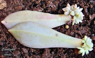 Plântulas da Planta fantasma - Graptopetalum paraguayense