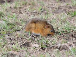 Rata nutria Holochilus brasiliensis