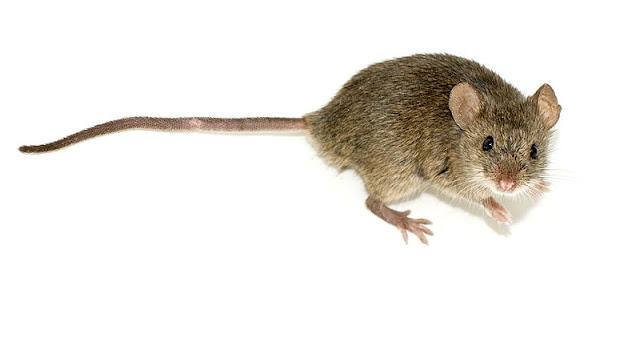 من أهم الأمراض التي تسببها الفئران