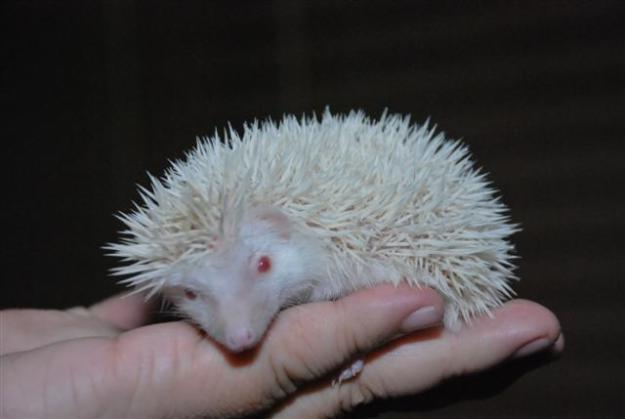Everything About Pets Mini Hedgehog Kind Of Mini Hedgehogs