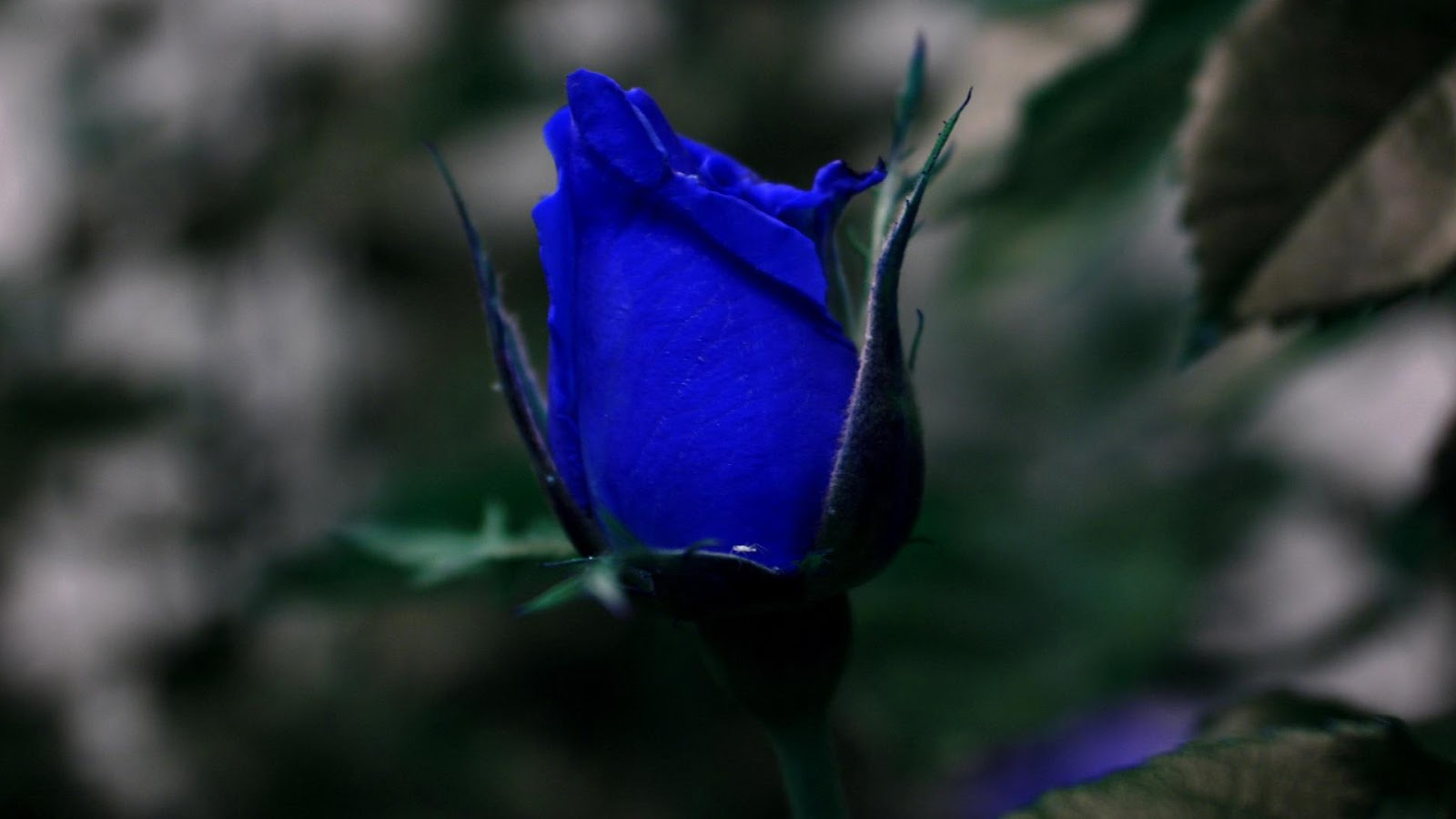 Wallpapers-hub: Green, Blue, Purple And Black Roses ...Are