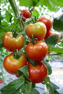 pertumbuhan indeterminate tomat