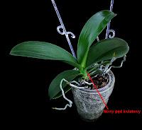 phalaenopsis storczyk