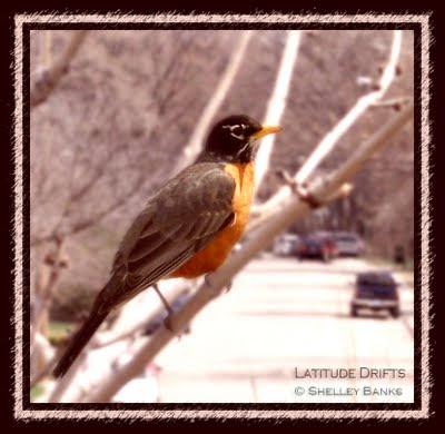 Robin, Regina, SK
