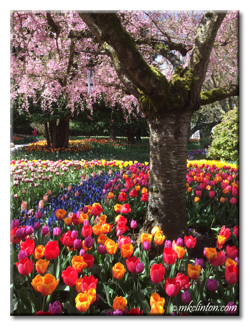 Colorful tulips under the cherry blossoms
