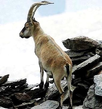 Foto de una cabra entre rocas