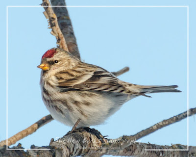 Female Common Redpoll. © Copyright, Shelley Banks, all rights reserved