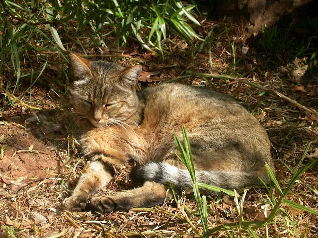 Nama Ilmiah Kucing