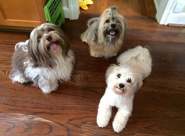 Three Havanese in different colors Rocco Nicky and Sophie