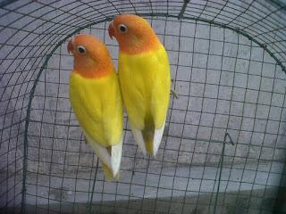 karakter lovebird, burung lovebird