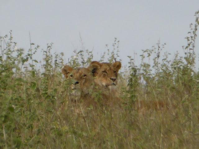 Nairobi National Park, leones