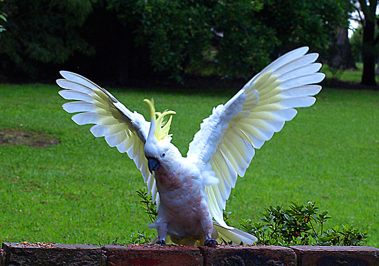 Beautiful Cockatoo Facts & Info 5