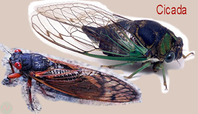 cicada, cicada insect