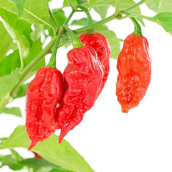 Ghost Pepper (or Bhut Jolokia Pepper)