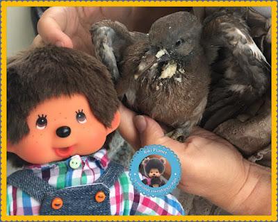 Bubbles le Monchhichi et Colombine le bébé pigeon - pigeonneau - oisillon