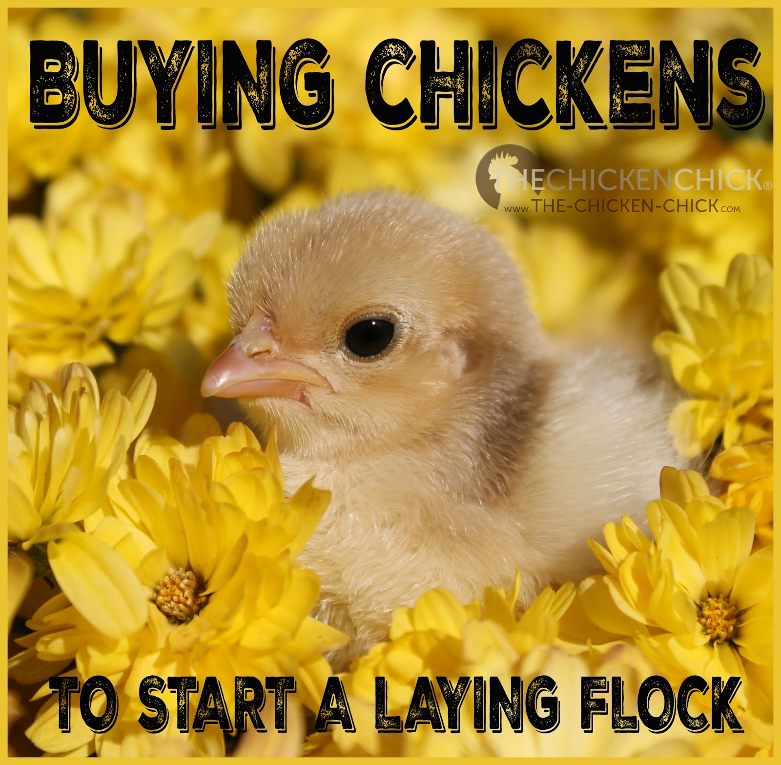 the chicken buying chickens to start a laying flock