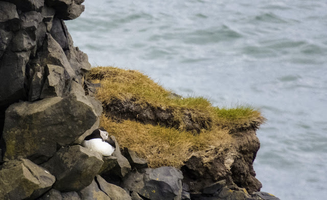 Nesting puffin on Dyrhólaey Peninsula near Vik Iceland