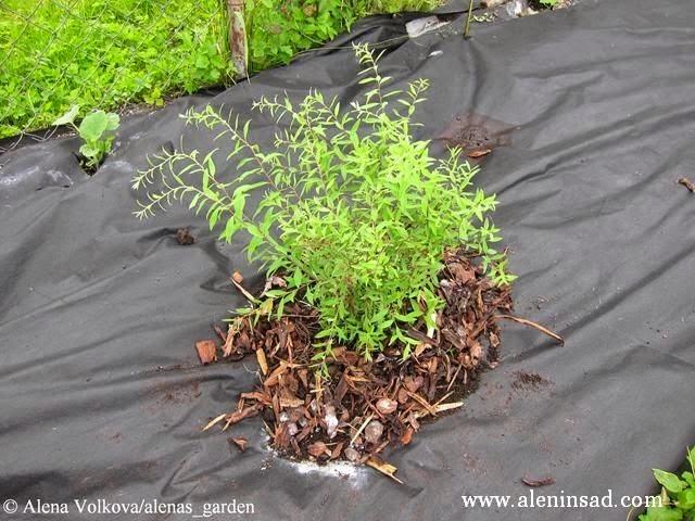 вокруг куста спиреи, спанбонд, лутрасил, агроволокно, агротекс, нетканый материал, против сорняков, использование в огороде