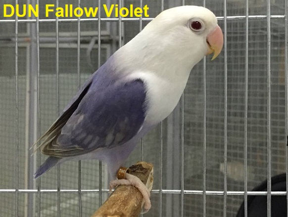 Catatan Burung Jenis Mutasi Warna Lovebird Fallow